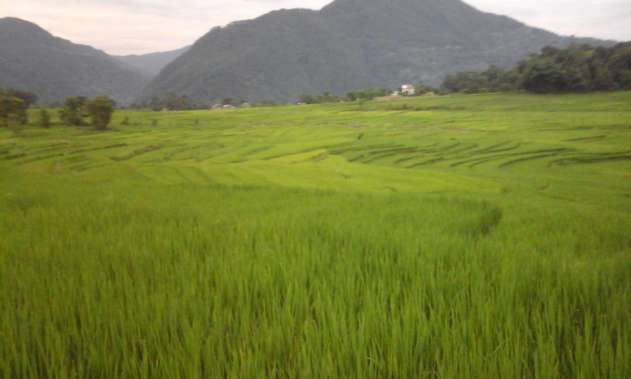 IYJ | Rice-cum-fish farming: opportunities in Nepal - Samita